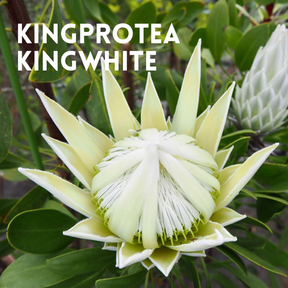 KINGPROTEA KINGWHITE
