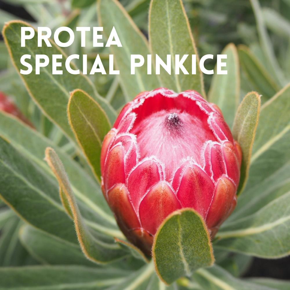 PROTEA SPECIAL PINKICE