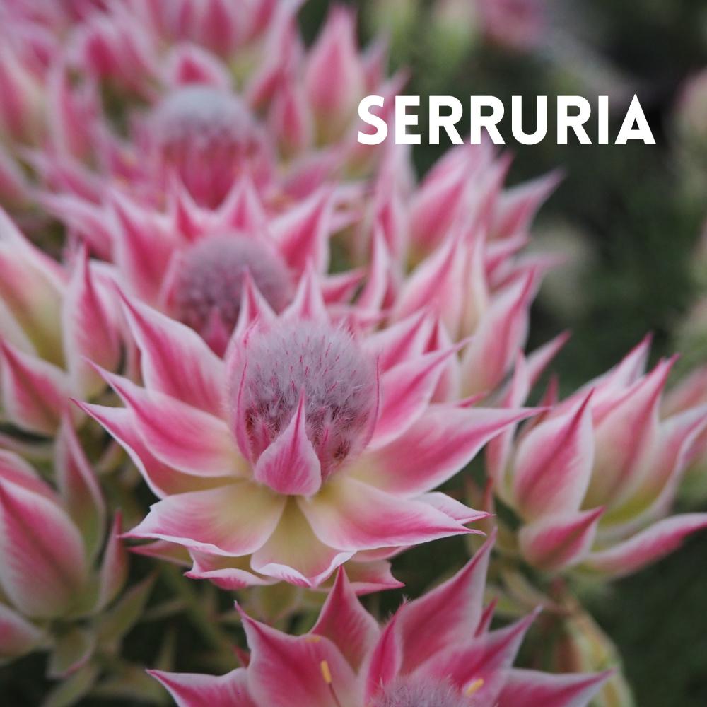 SERRURIA